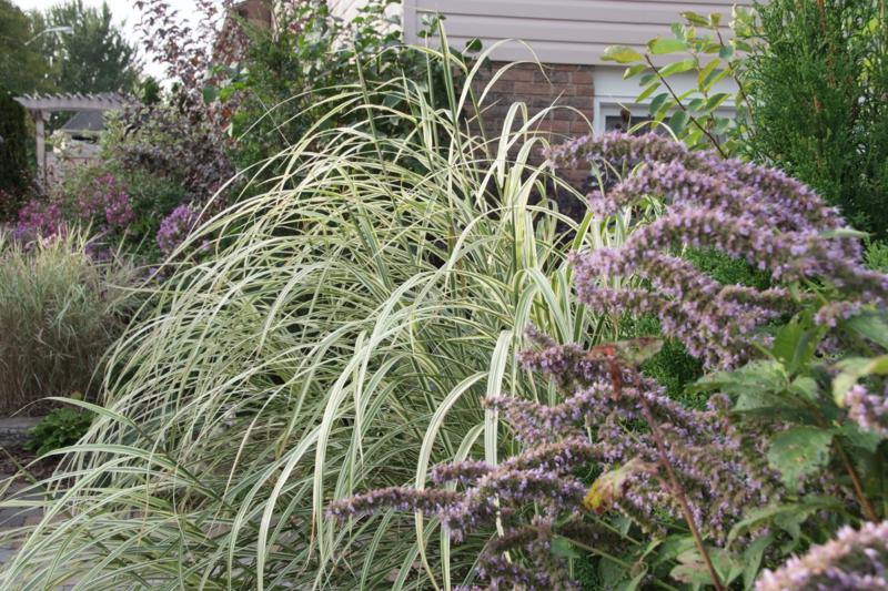 Dixieland grass with agastache