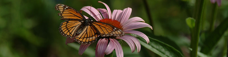 viceroy-butterfly-on-echinacea